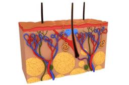 Anatomie und Pathologie der Haut